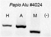 amplification of alu insertion Alu sequences are frequently encountered during study of human genomic nucleic acid and form a major component of repetitive amplification of alu subfamilies has not occurred at a constant rate throughout evolution the reasons for the differential rate of alu insertion are unknown.